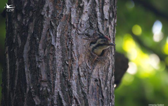 Drvo na dar: Za zeleni kvart!