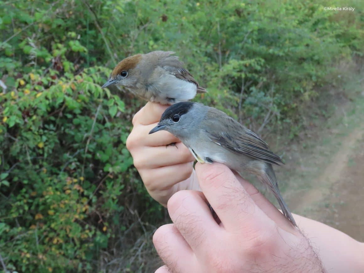 Novi rekord na ovogodišnjem prstenovanju ptica na Marezi