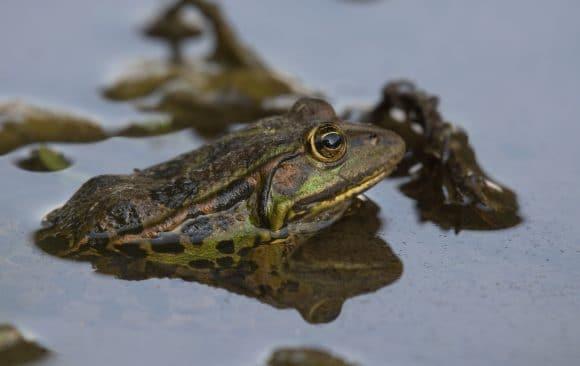 Skadarska žaba zabilježena na 18 novih lokacija duž obale Skadarskog jezera