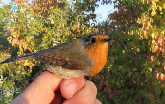 Prstenovanje ptica na Marezi, 20.-27. oktobar 2021